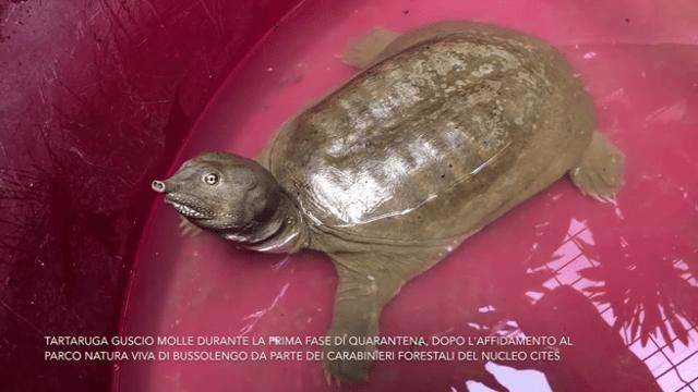 Trovata tartaruga aliena nel Lago di Garda (non è una fake news!)